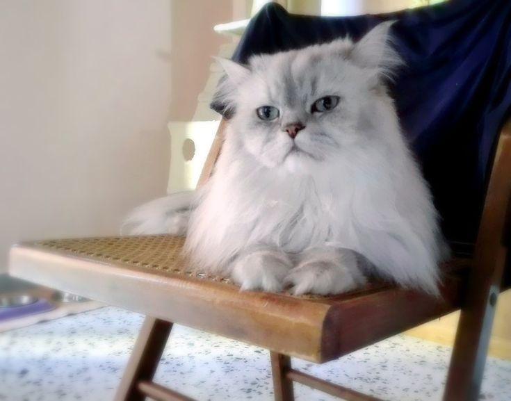 Romeo,2 anni e 6 mesi. #persiancats #chinchillapersian #traditionallonghair #silvershaded #cats #chair