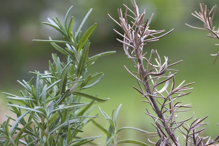 """Rosemary plants are tough and flexible, almost bulletproof, but when brown rosemary plants appear in the garden or home, you may wonder, """"Is my rosemary dying?"""" Read this article for answers."""