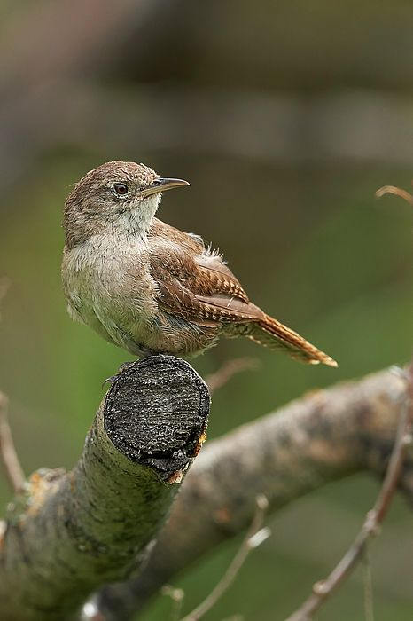 A House wren taking a quick look around before diving back into the underbrush.