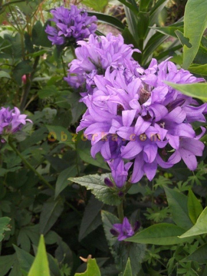 Колокольчик скученный - фиолетовый красавец