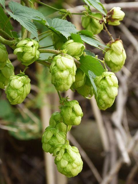 A komló nem csak a sörfőzés egyik alapanyaga, bár kétségtelen, hogy a sör ízesítésére és tartósítására nagy mennyiségben használják.