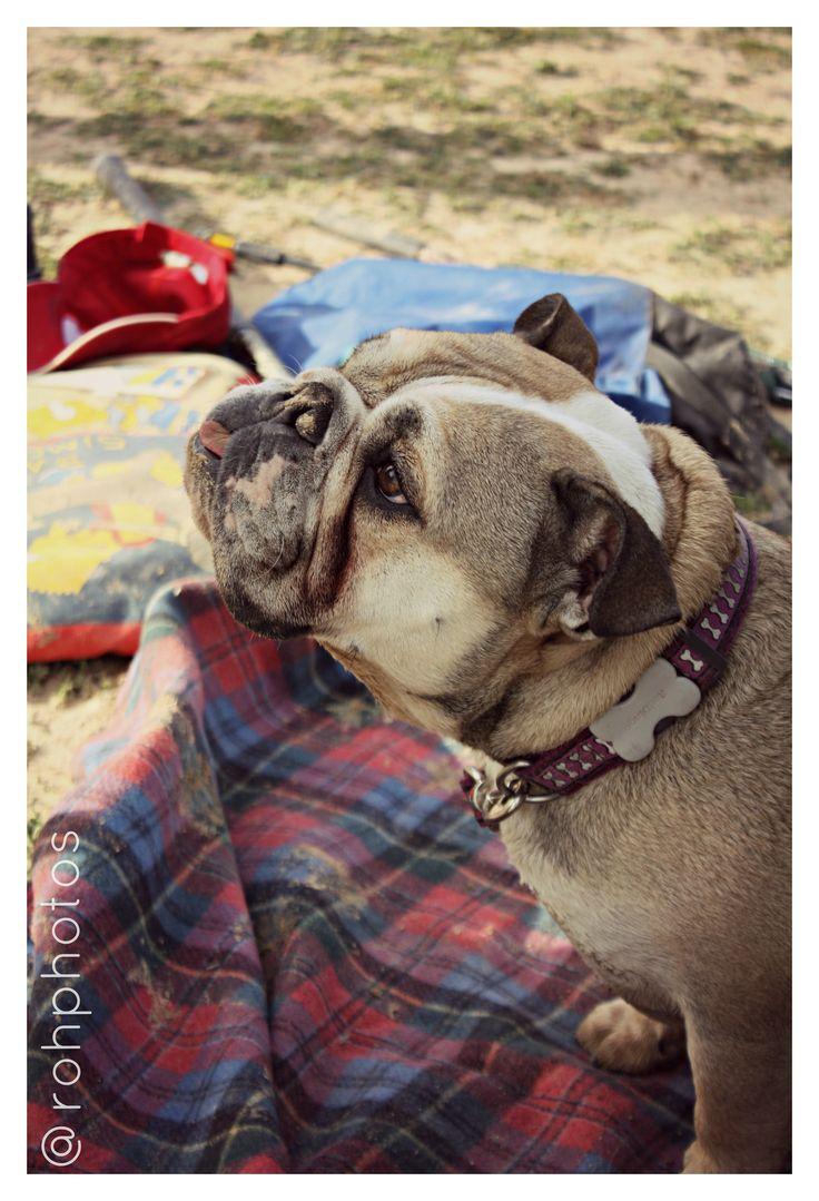 """Definición de """"perro"""" (#DRAE): 1. m. Mamífero doméstico de la familia de los Cánidos, de tamaño, forma y pelaje muy diversos, según las razas. Tiene olfato muy fino y es inteligente y muy leal al hombre.  #Dog #Bulldog #Perro #Eros #Sacedón"""