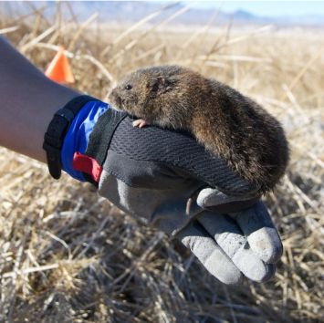 Despite the welcome rains in California this year, the fate of endangered Amargosa voles that depend on rare marshes in the Mojave Desert remains dire, with only about 500 animals remaining in the wild and most of their habitat degraded or dying. Comprehensive planning to mitigate human-caused climate change, secure water, restore and enhance marshes, and manage vole genetic and disease stressors are urgently needed to reduce the species' high extinction risk.