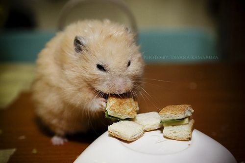 Hamster's breakfast : Mini Sandwiches (by Diyana... - Tarevale