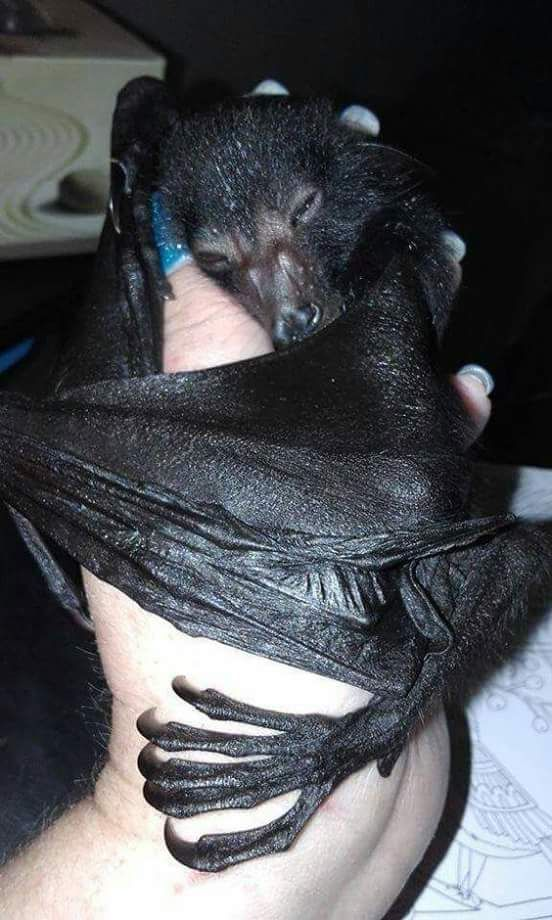 Feeling for the best vein... Bats are not pets! This is how we get vampires... Geeze... Enjoy RUSHWORLD on Pinterest. We're supportive and funny and we bring fresh content to your face every day!