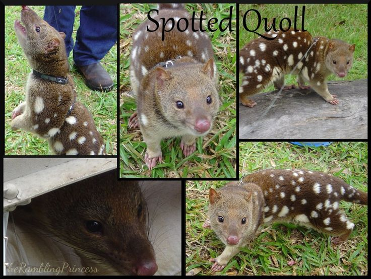 Quoll, spotted quoll, australia,