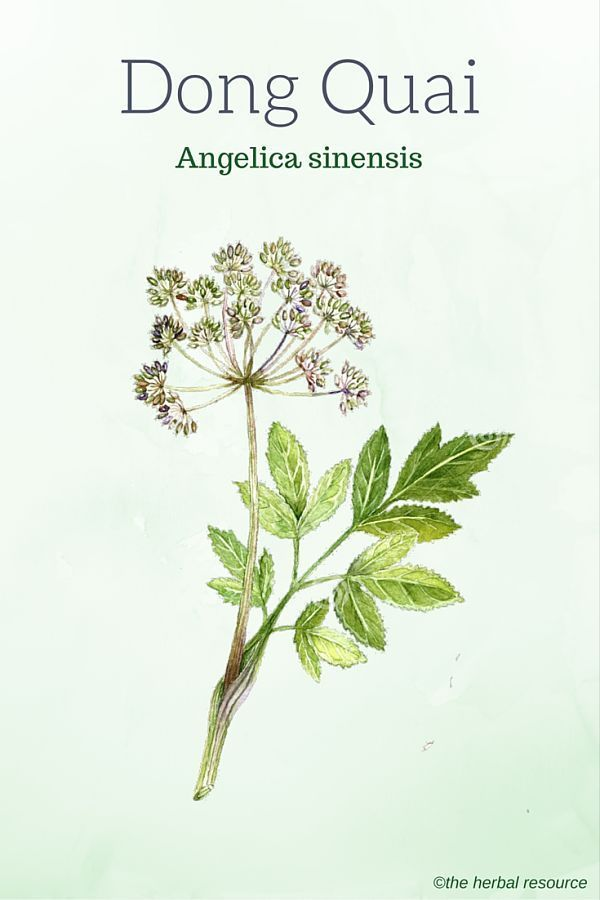 The Medicinal Herb Dong Quai (Angelica sinensis)
