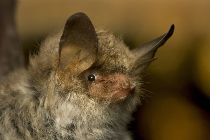Read more about Threave Bat Reserve and its success in conserving Scotland's bats here: http://www.ntsusa.org/threave-bat-reserve/