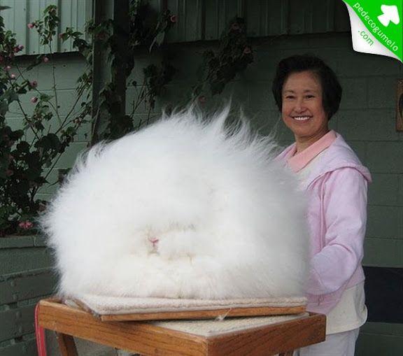 Coelho de Angorá. Uma variedade do coelho doméstico criado por sua lã longa e macia. Ele é um dos tipos mais antigos de coelho doméstico, originário de Angora, Turquia.