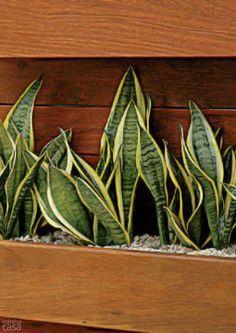Resultado de imagen para Decoración con plantas: Espada de San Jorge