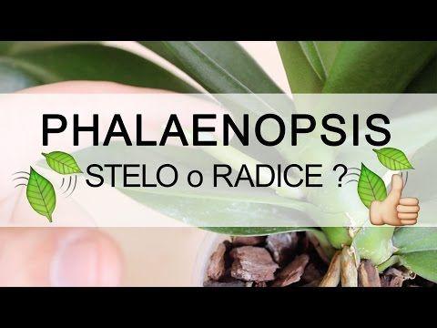Q&A Orchidea Phalaenopsis - Stelo o Radice ? - YouTube