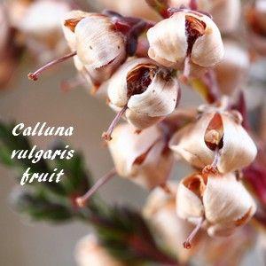 Calluna vulgaris - Callune