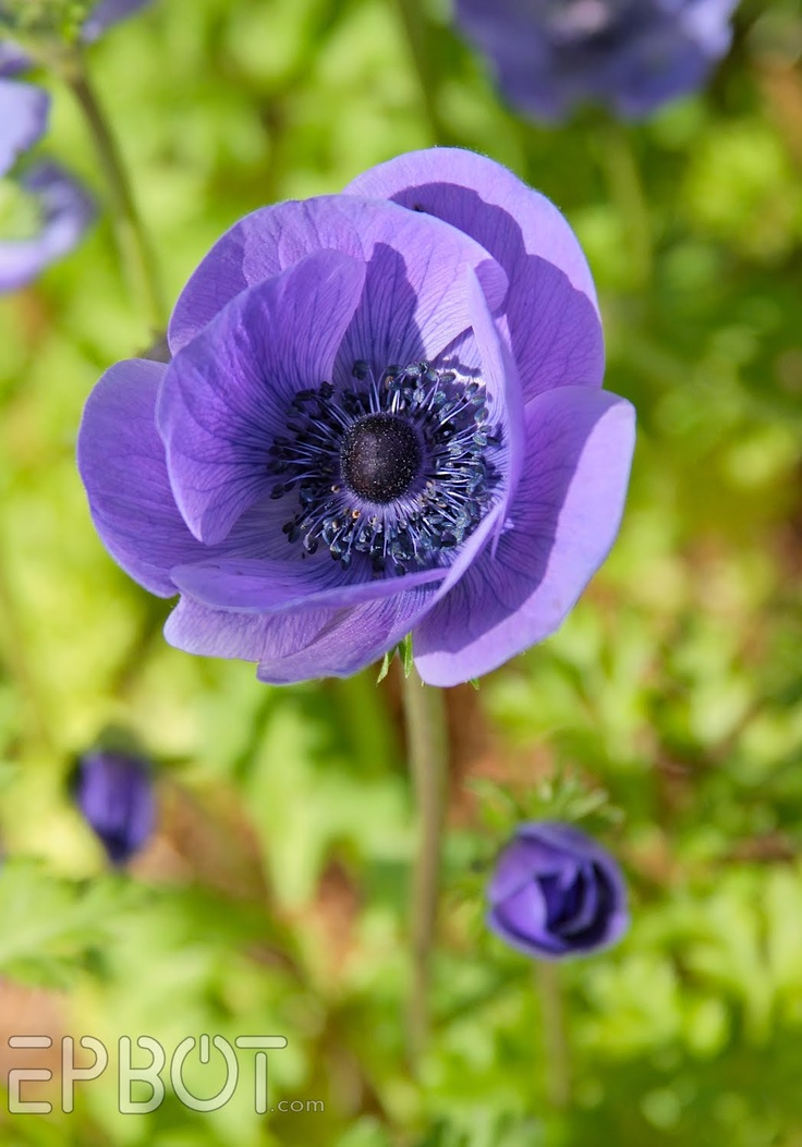 Anemone: Purple Poppies, Idea, Wedding Bouquets, Color, Flower Gardens, Things Purple, Purple Anemones, Engagement Ring, Pretty Flower