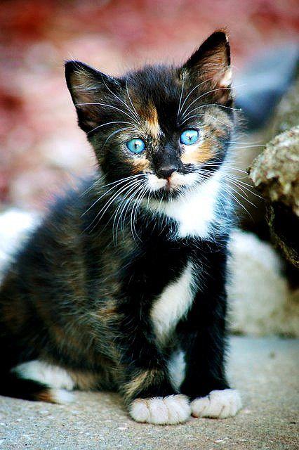 long haired calico kitten
