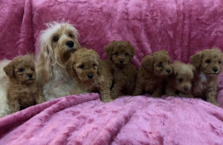 Red poodle puppies uk
