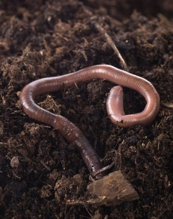 Science Fair: Earthworms and Light: Do Worms Prefer Darkness?
