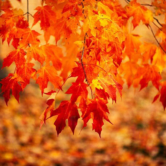 A great, extra-reliable tree that makes a big statement in fall, sugar maple offers gorgeous red, orange, or yellow end-of-the-season leaves.