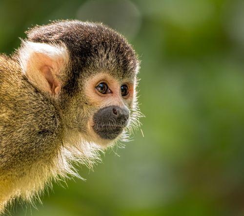 black-capped squirrel monkey (Saimiri boliviensis) London Zoo