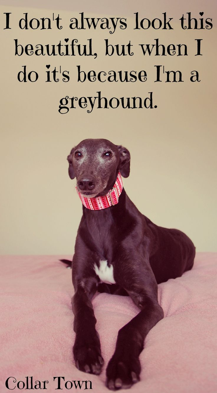 My greyhound dog Bella, the main Collar Town model, modeling her Valentines day martingale dog collar, feel free to re-pin, but please don't download <3