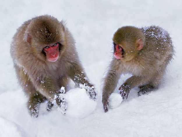How to have a monkey snowball fight!