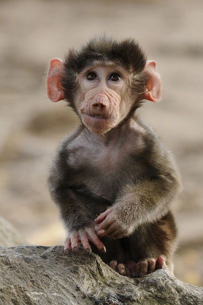 Little monkey by Tilly Meijer, baboon baby