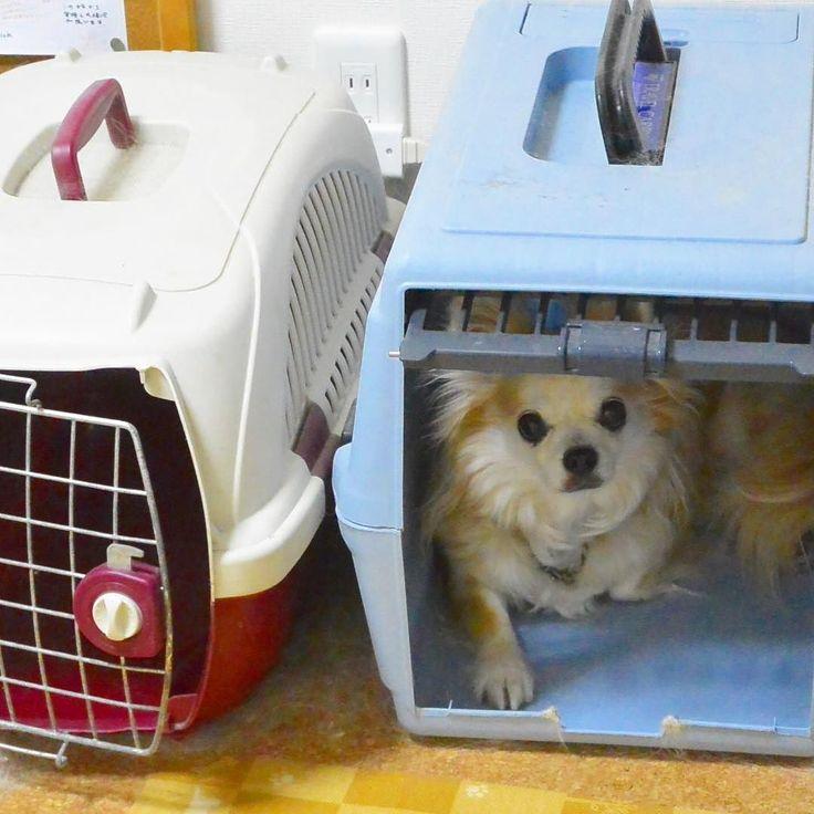 みかんの定位置  ふと静かになったなぁと思うとクレートでひと休みしているんです落ち着くのかな  #気分によって部屋もかえます #chihuahua #dog #dogoftheday #dogofthedayjp #dogsofinstagram #チワワ #ふわもこ部 #chihuahuadog #chihuahuaofinstagram #animal #onlychihuahua  #しっぽふぁさ部  #chihuahua #dog #dogoftheday #dogofthedayjp #dogsofinstagram #チワワ #ふわもこ部 #chihuahuadog #chihuahuaofinstagram #animal #onlychihuahua  #しっぽふぁさ部