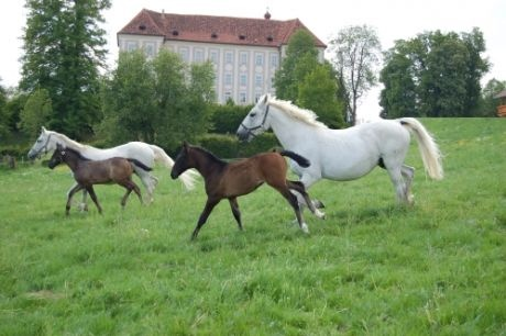 Lipizzan Stud, Piber - I stayed right near this stud farm. The baby Lippizaners are born brown and become white as they get older.