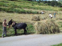 Un cheval et une motofaucheuse pour faire 15 tonnes de foin... (saison 2, été 2013) Par Deny Fady. Guy est venu avec Cacao, nous prêter main forte, les jours de bourre avec un petit traîneau traditionnel de Montdenis... Courtesy: Association HIPPOTESE, Villers, Levier (France).