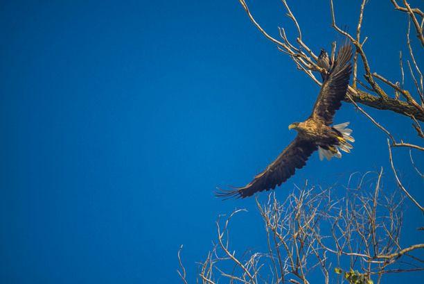 Danube Delta, Tulcea, Romania — by Christian Lorenz. Eagle taking off in the Danube Delta #UNESCO