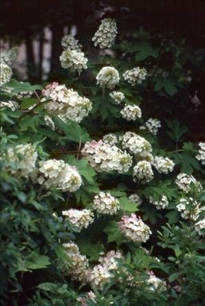 A good site about hydrangeas.  Looks as if I have a mophead.  And since I live so far south, I need to find a spot with morning sun, afternoon shade, and not under a tree.  Difficult on my property, but I'll find someplace to put it.