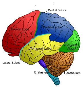 Best 20+ Brain lobes and functions ideas on Pinterest