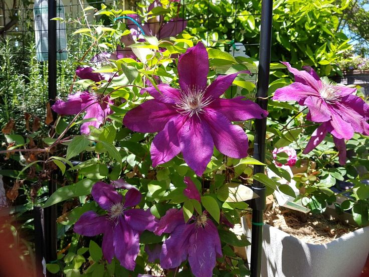 Clematis growing up my new arch