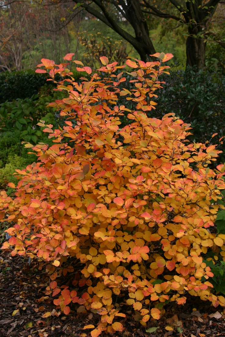 Shrubs to plant in fall - Planting A Mexican Orange Here Seemed Like Such A Good Idea It S Evergreen Pretty And Full Of Good Smelling Flowers But Sadly The Color