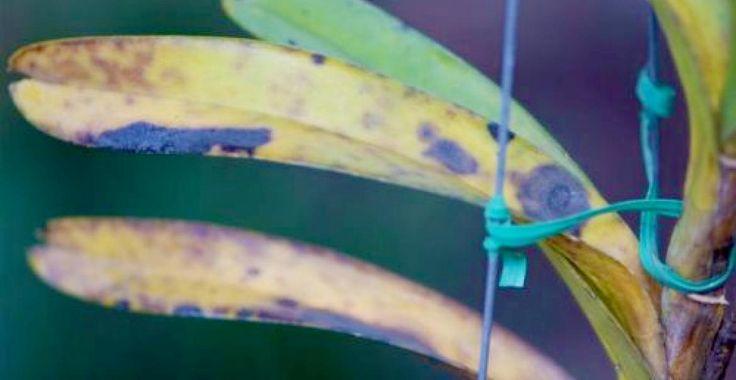 Cum se tratează petele maro de pe orhidee? | Paradis Verde