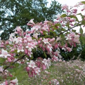 Unique Kolkwitzia amabilis Perlmuttstrauch Kolkwitzie jetzt g nstig in Ihrem MEIN SCH NER GARTEN Gartencenter schnell