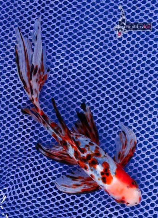 Goldfish - Fantastic Shubbie!