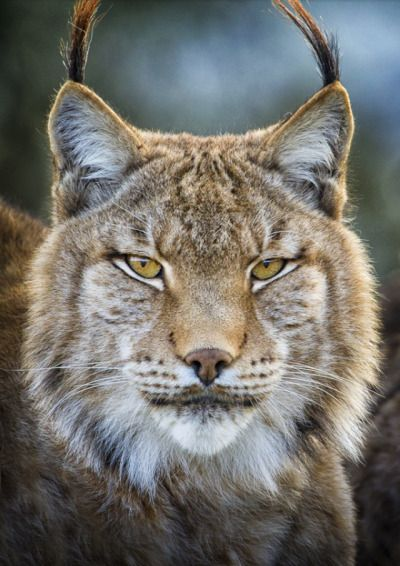 Lynx Portrait. Photo by Mario Moreno                                                                                                                                                      More