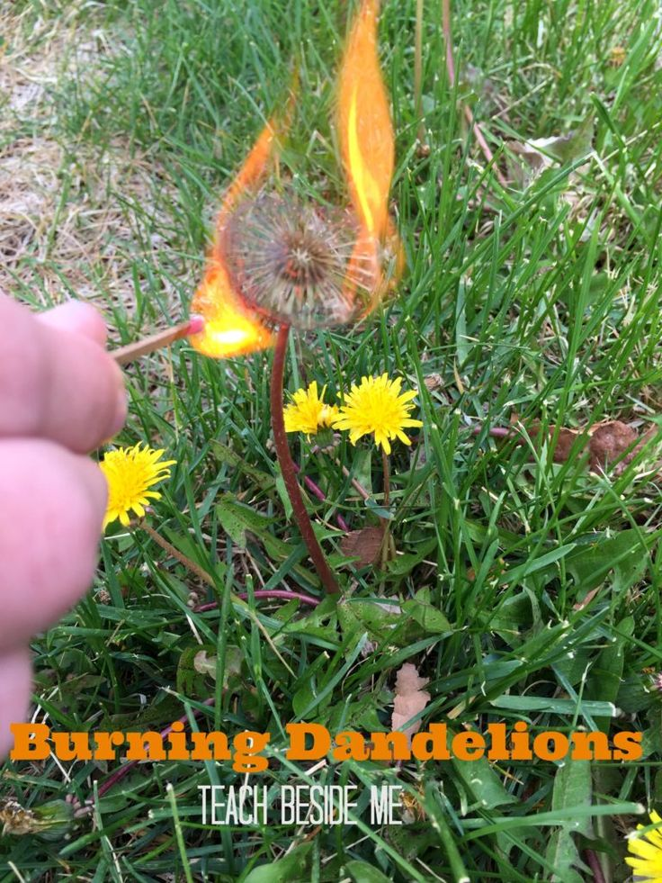 nature experiment Burning dandelions -- great way to test another's outcome