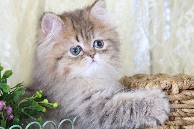 rug huggers kittens | Teacup Persian Kitten