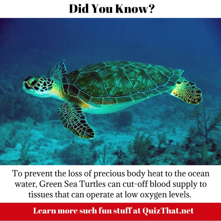 Green Sea Turtle Fun Fact