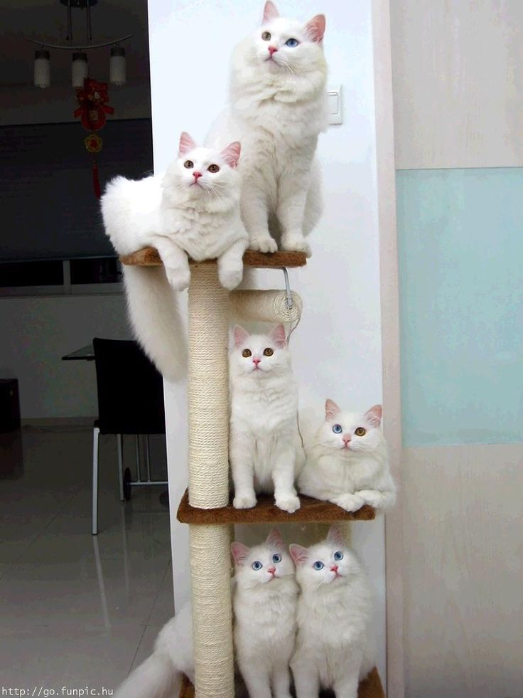 White Norwegian Forest Cats, or A Forest of Cats