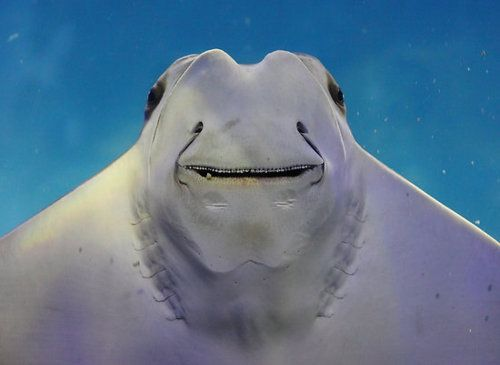 76 best images about rays manatees dugongs faves from