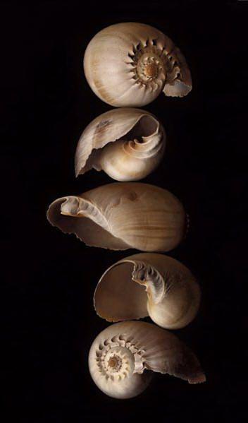 Five Shells - Tatyana Klevenskiy - oil on canvas