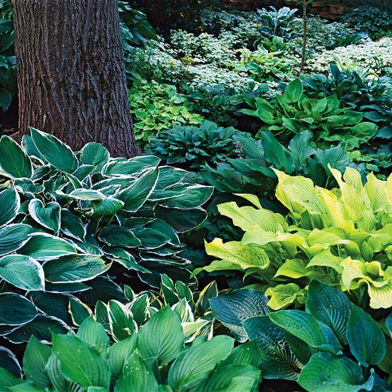 Hostas are among the showiest and easy-to-grow perennials in the shade. They also offer the most variety of any shade plant. Choose from miniatures that stay only a couple of inches wide or giants that sprawl 6 feet across or more. Look for leaves in shades of green, blue, white, chartreuse, and gold, with many cultivars being variegated. Some hosta flowers are very fragrant.