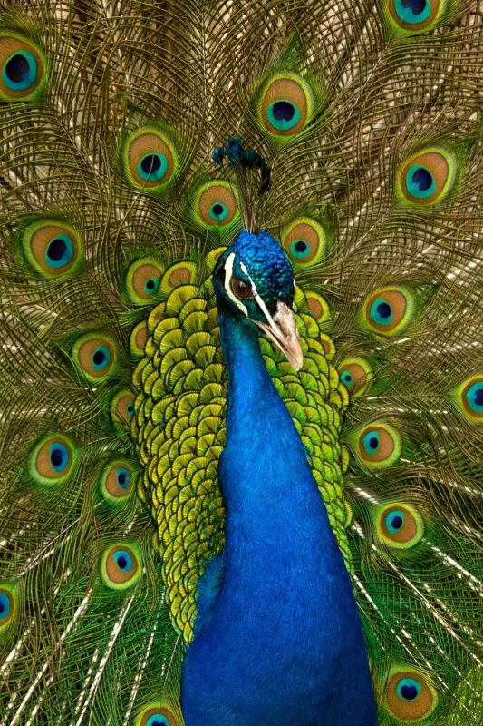 My friend has peacocks that run around screaming in her neighborhood...its very memorable when im with her. This is a peacock, MW! Be sure to practice the trick I taught you with that peacock feather I brought you, Grams xxxxx ooooo