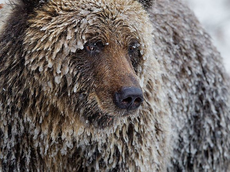 Grizzly Bear Picture -- Yukon Photo -- National Geographic Photo of the Day