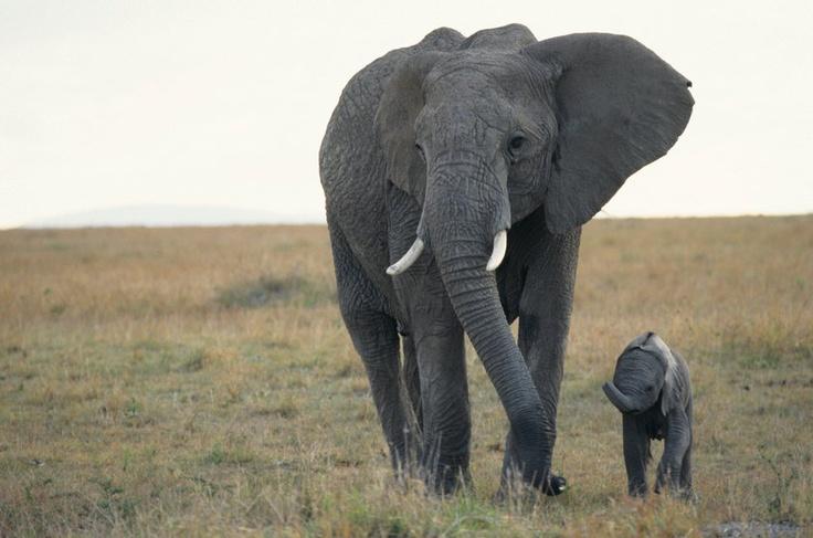 Elefante-africano – o maior animal terrestre do mundo