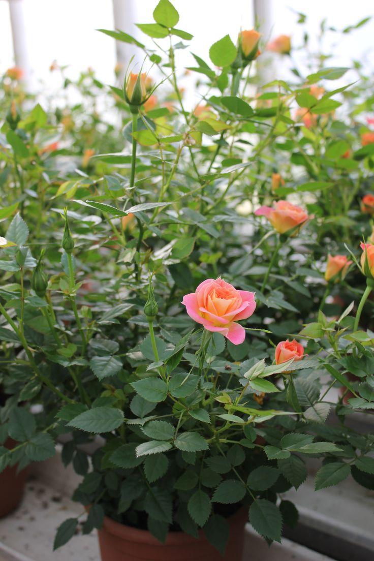 Ruukkuruusu 'Mandarin'