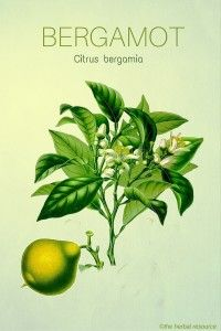 Bergamot Oil Herb Uses and Health Benefits