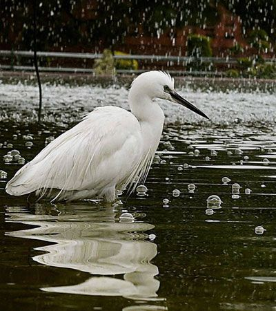 An egret enjoys a splash of water in a water pond in New Delhi.